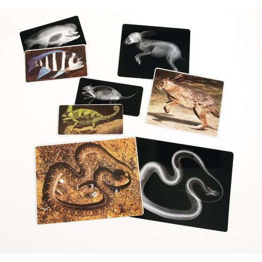 Animal X-Rays - Set of 13