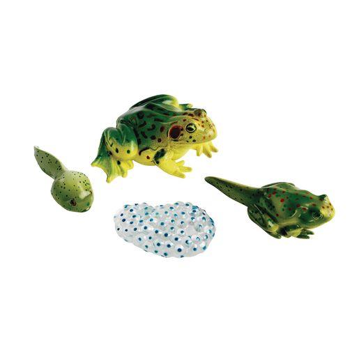 Image of Frog Life Cycle Models